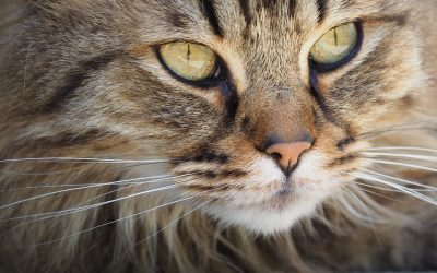 Homeopathic Treatment of Cats with IBS
